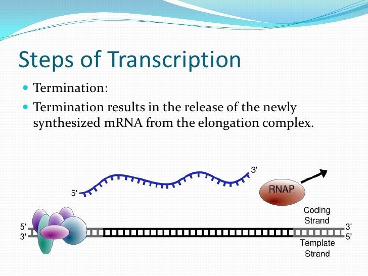 transcription 1 The transcription start site is the location where transcription starts at the 5'-end of a gene sequence [1] each human gene is made up of deoxyribonucleic acid (dna) in a double helix.