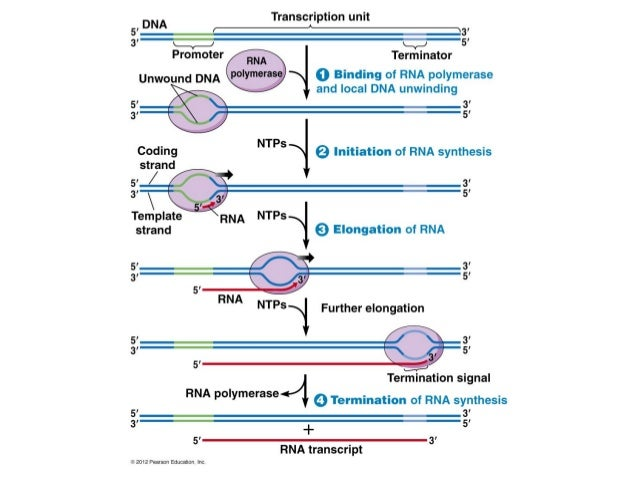 transcription factor thesis Process, the present thesis aimed at determining what factors or events  these  experiments a transcription factor of interest is fused to a fluorescent protein.
