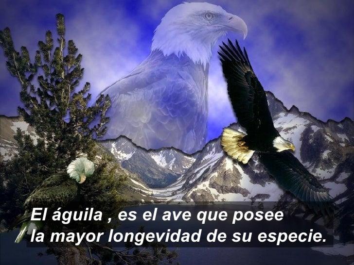 El águila , es el ave que posee  la mayor longevidad de su especie.