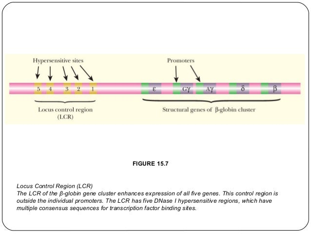 FIGURE 15.7  Locus Control Region (LCR) The LCR of the β-globin gene cluster enhances expression of all five genes. This c...
