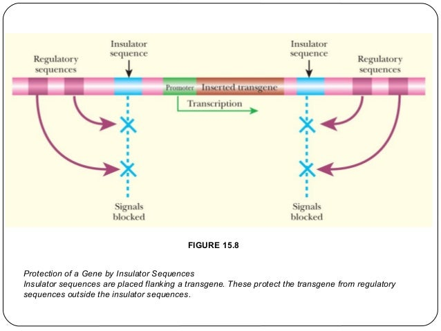 FIGURE 15.8 Protection of a Gene by Insulator Sequences Insulator sequences are placed flanking a transgene. These protect...