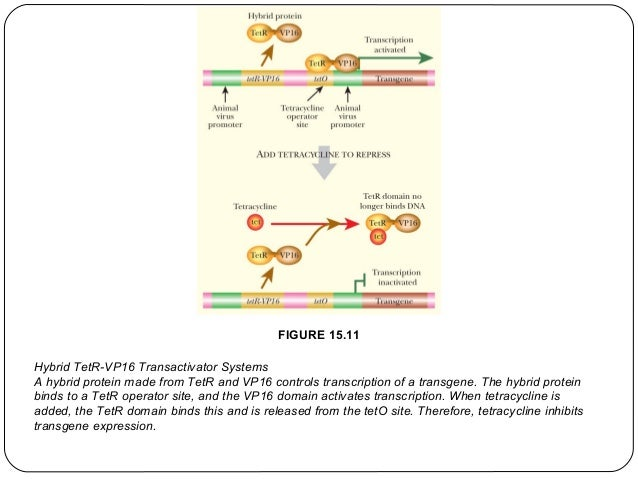 FIGURE 15.11 Hybrid TetR-VP16 Transactivator Systems A hybrid protein made from TetR and VP16 controls transcription of a ...