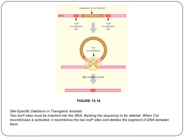 FIGURE 15.14 Site-Specific Deletions in Transgenic Animals Two loxP sites must be inserted into the DNA, flanking the sequ...