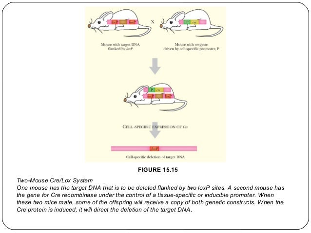 FIGURE 15.15 Two-Mouse Cre/Lox System One mouse has the target DNA that is to be deleted flanked by two loxP sites. A seco...