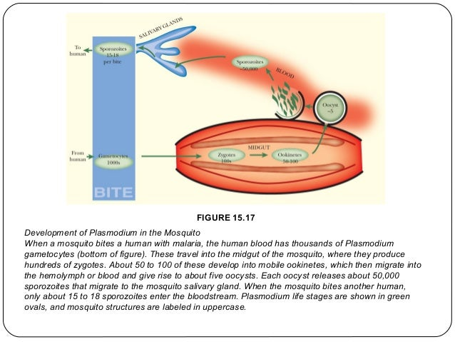 FIGURE 15.17 Development of Plasmodium in the Mosquito When a mosquito bites a human with malaria, the human blood has tho...