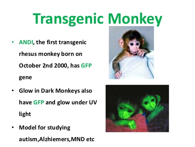 andi rhesus monkey
