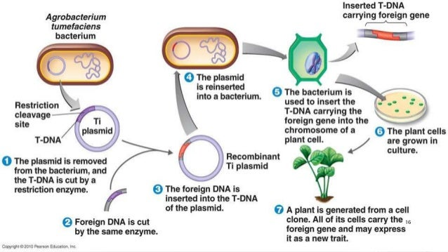 transgenics essay Such introduced genes are called transgenes the organisms carrying them are referred to as transgenics transgenes can be used to study organismal function and development in a variety of different ways section 85 gene replacement and transgenic animals.