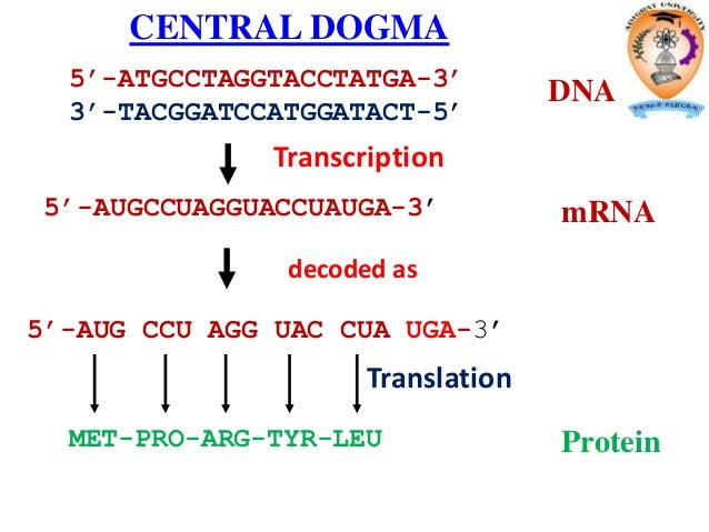 protein in dna sythesis Steps in protein synthesis: step 1: the first step in protein synthesis is the transcription of mrna from a dna gene in the nucleus.