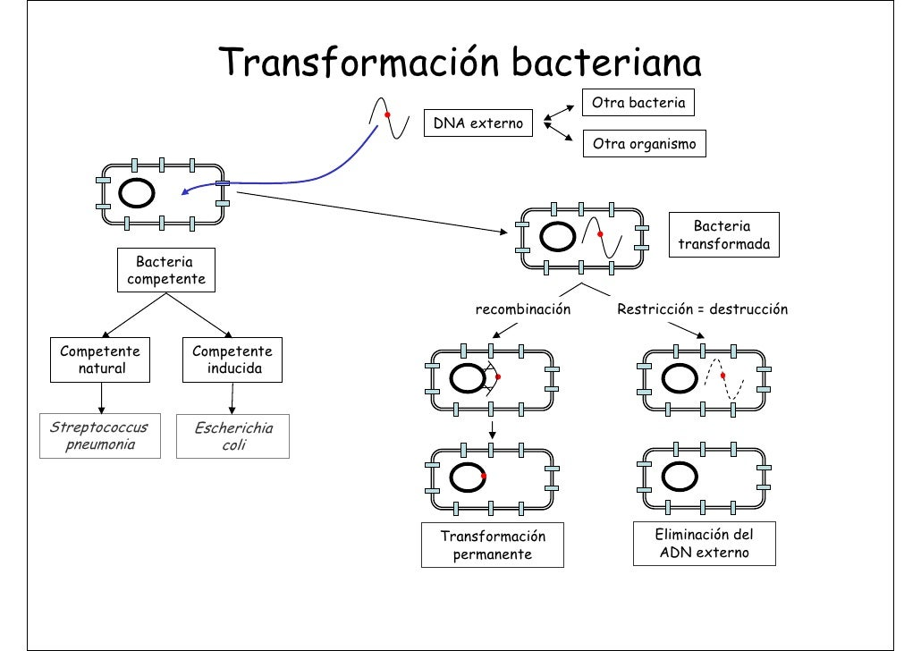 recombinacin bacteriana essay Recombinacin bacteriana essay english university college an overview of the tragic and satirical elements of macbeth a play by william shakespeare.