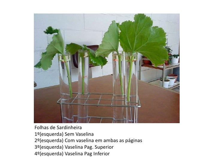 Folhas de Sardinheira<br />1º(esquerda) Sem Vaselina<br />2º(esquerda) Com vaselina em ambas as páginas<br />3º(esquerda) ...