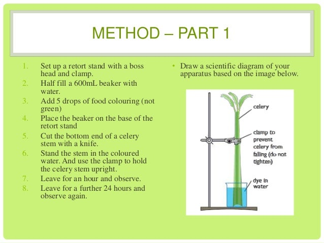 transpiration celery 2 celery stalks (one with leaves and one without)   transpiration is the way water moves through a plant from the roots to the leaves and out into the air.