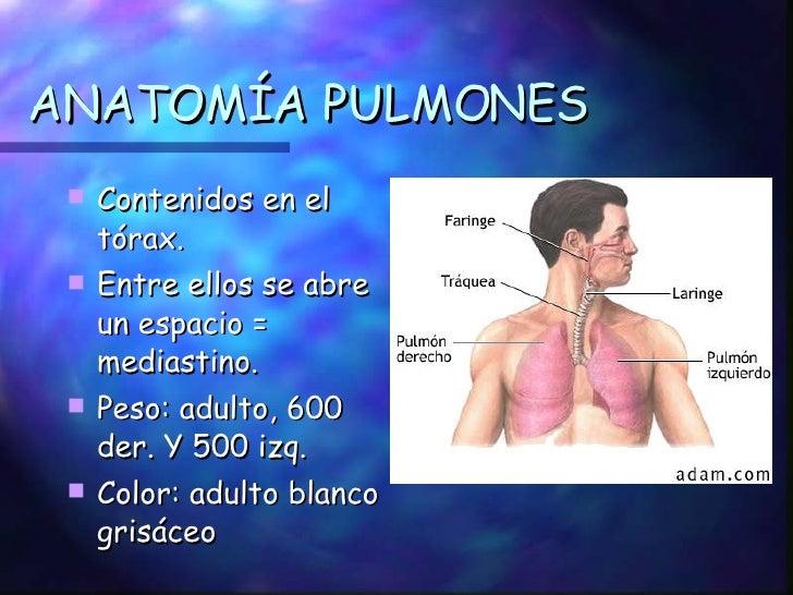 ANATOMÍA PULMONES <ul><li>Contenidos en el tórax. </li></ul><ul><li>Entre ellos se abre un espacio = mediastino. </li></ul...