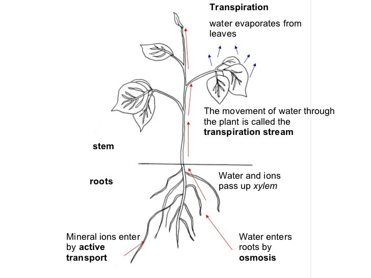 Transport In Flowering Plants 1 as well Model disp furthermore People Vector Graphic together with Story furthermore Story. on plant transport