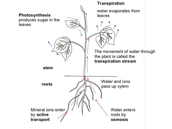 Transport In Flowering Plants 1 Xylem And Phloem In Plants