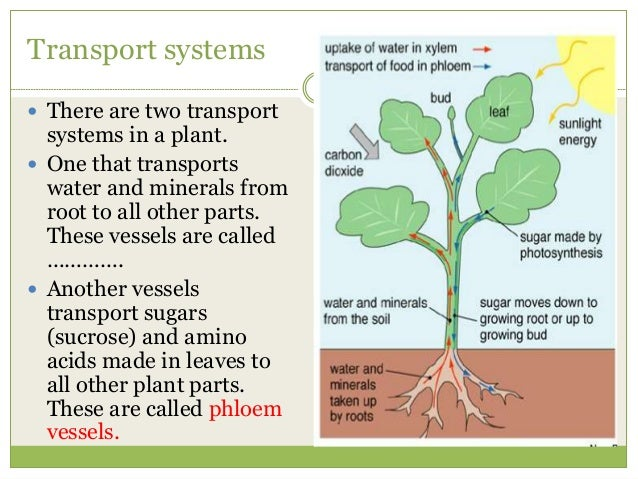 transport in plants 1 transport in plants Xylem And Phloem In Plants