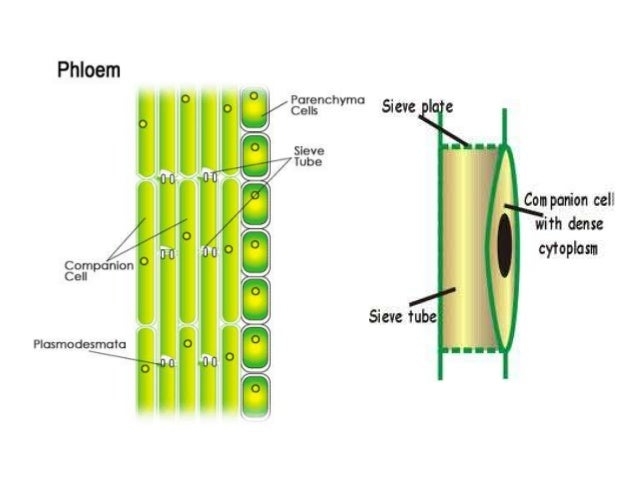 Xylem cell structure