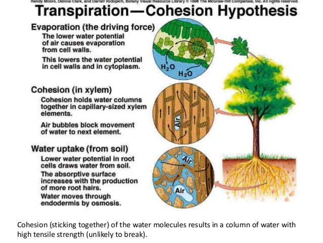 Parts Of The Plant And Their Functions besides Growth besides 6567440 besides What Is Plant Transpiration together with Xylem And Phloem. on flower transpiration diagram