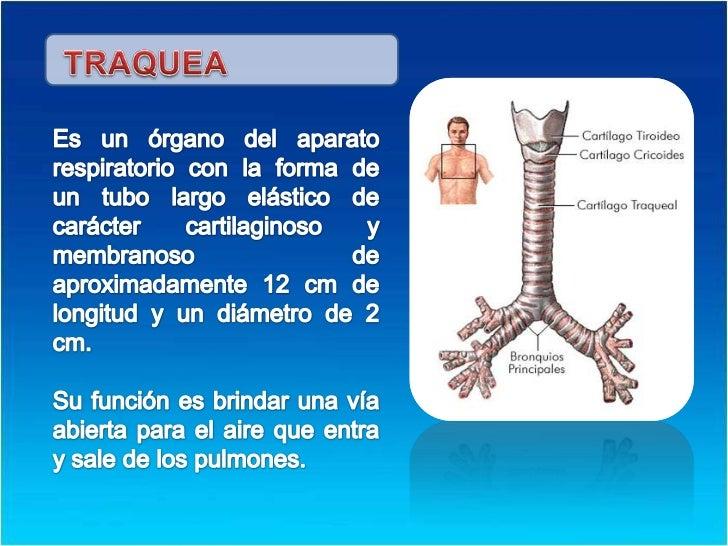 TRAQUEA<br />Es un órgano del aparato respiratorio con la forma de un tubo largo elástico de carácter cartilaginoso y memb...