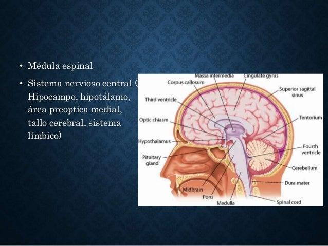 • Médula espinal • Sistema nervioso central ( Hipocampo, hipotálamo, área preoptica medial, tallo cerebral, sistema límbic...