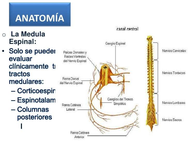 ANATOMÍAo La Medula  Espinal:
