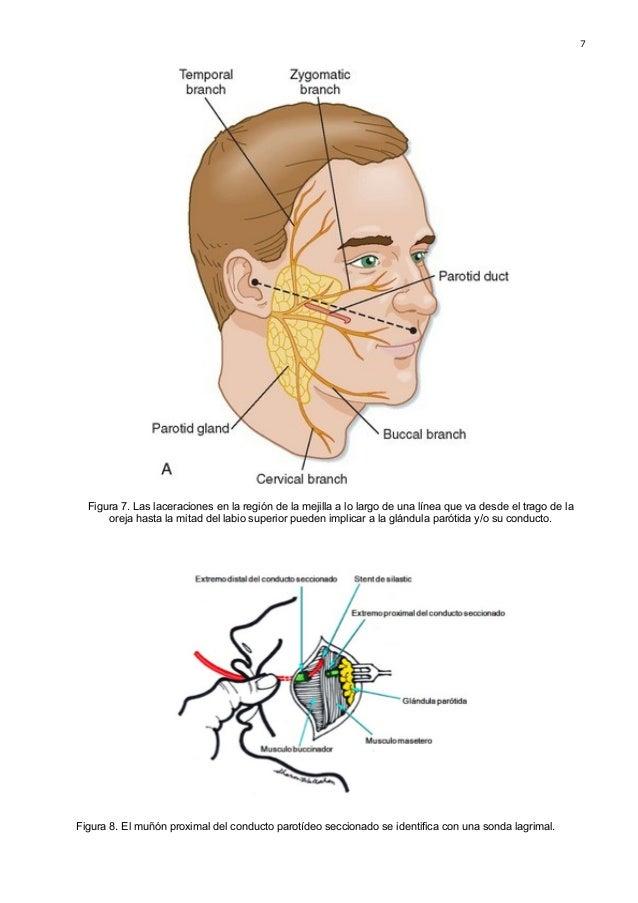 Dorable Anatomía De Las Glándulas Salivales Composición - Imágenes ...