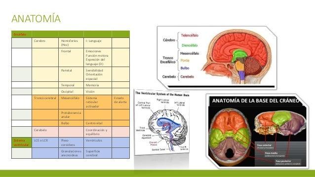 ANATOMÍA Encéfalo Cerebro Hemisferios (Hoz) I: Lenguaje Frontal Emociones Función motora Expresión del lenguaje (D) Pariet...