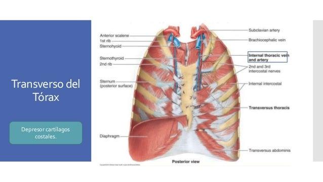 Tórax. Anatomía y Fisiología.