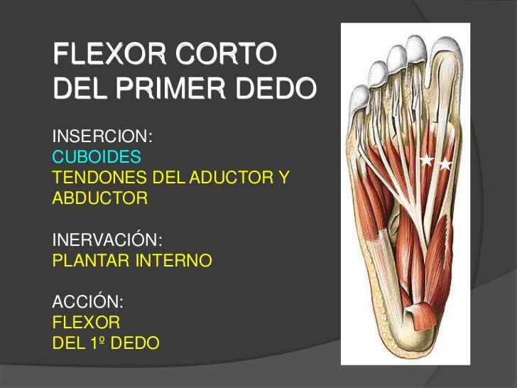 anatomía: músculos del pie