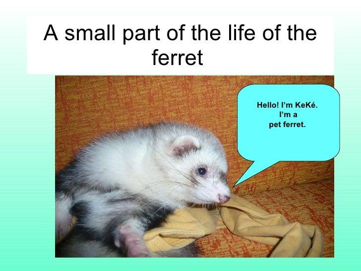 A small part of the life of the ferret  Hello! I'm KeKé.  I'm a pet ferret.