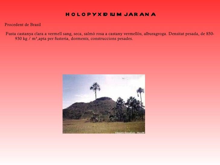 GUAYACÁN DE BOLA Elguayacánde bola, ésun arbre degranpartdelnorddeSud-amèrica, a laregiódelesGuaianes, deVe...