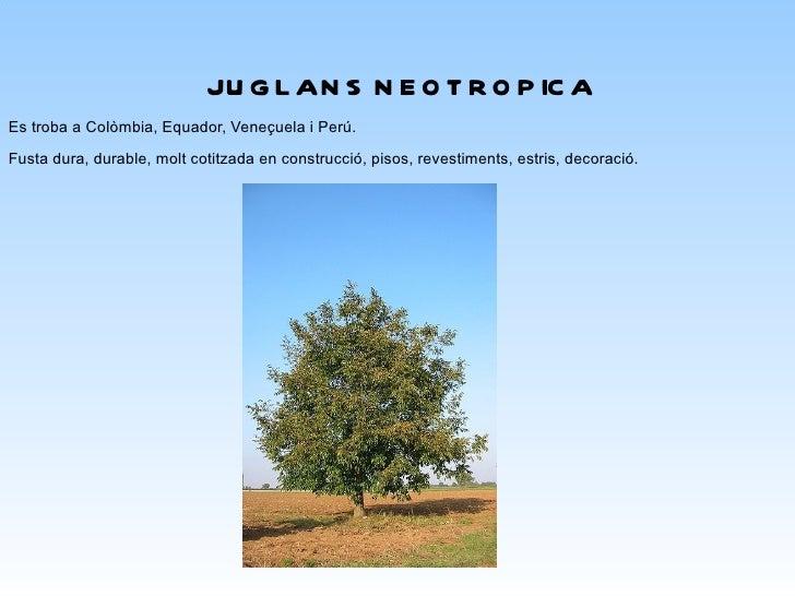 HOLOPYXIDIUM JARANA Procedent de Brasil Fustacastanyaclaraavermellsang,seca,salmórosaacastanyvermellós,alburag...