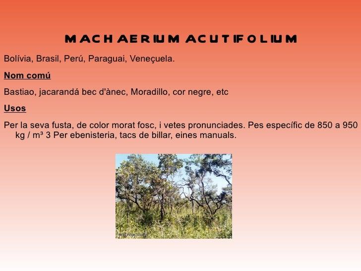 <ul>PRODOCARPUS GLOMERATUS Creix a Bolívia, Equador, Perú. Excel·lent fusta; molt requerit per a construcció d'habitatges,...