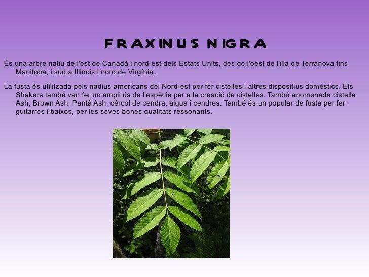 <ul>FRAXINUS UHDEI És nativa de Mèxic i de Guatemala. Conegut com Urapan a Colòmbia, sent molt comú en el area urbà de Bog...