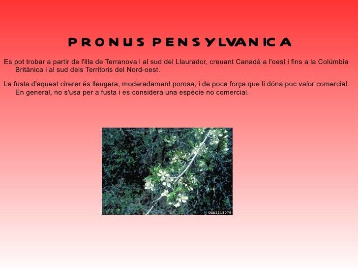 <ul>PINUS STROBUS Originària de l'est d'Amèrica del Nord. Es troba des de l'illa de Terranova a l'oest a Minnesota i sud-e...