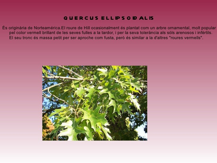 <ul>QUERCUS ARIZONICA Es troba predominantment a Arizona, sud-oest de Nou Mèxic, nord-est de Sonora i Chihuahua. La fusta ...