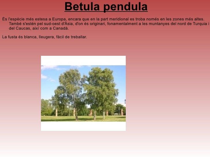 <ul>Abies alba <li>Abies alba, l'avet común3 o avet blanc és una espècie arbòria de la família de les pinàcies, originària...