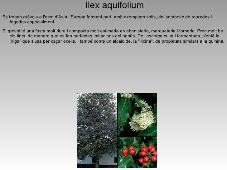 Fresno común, Fresno europeo, Fresno negro. Fraxinus excelsior L. -Nomcientíficollatí:FraxinusexcelsiorL.   -Nom...