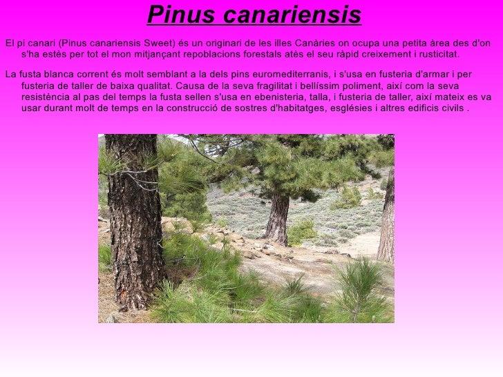 <ul>Juniperus phoenicea Savina comuna, savina negra, savina marítima, arbre de l'encens o sivina (Juniperus phoenicea) és ...