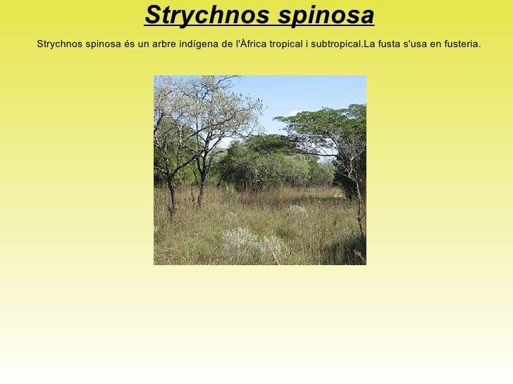 <ul>PYCNANTHUS ANGOLENSIS </ul>Molt estès des de Guinea Equatorial fins a Angola. Comú a l'illa de Bioko ia la regió conti...