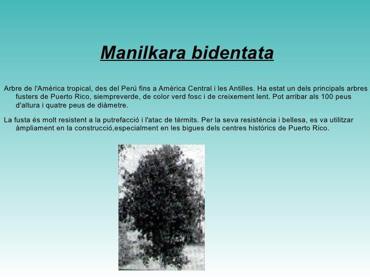 <ul>Ceiba pentandra L'arbre més gran a Puerto Rico i un dels més grans de les Amèriques. Pot arribar a més de 100 peus d'a...