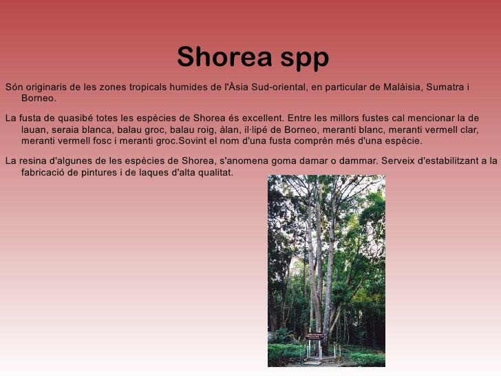 <ul>Santalum album Santalum àlbum l'arbre del sàndal, és una espècie botànica originària de l'Índia i altres parts d'Àsia,...