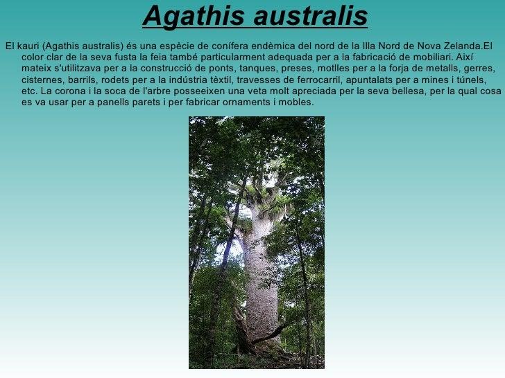 <ul>Acacia dealbata Acacia dealbata, la Mimosa, acàcia mimosa o acàcia australiana.Se obtenen productes químics, farratge,...
