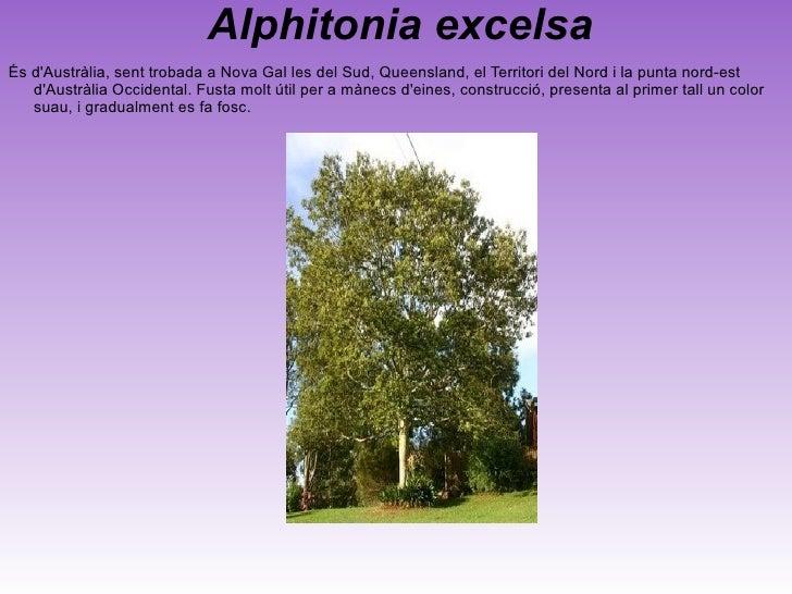<ul>Agathis australis El kauri (Agathis australis) és una espècie de conífera endèmica del nord de la Illa Nord de Nova Ze...