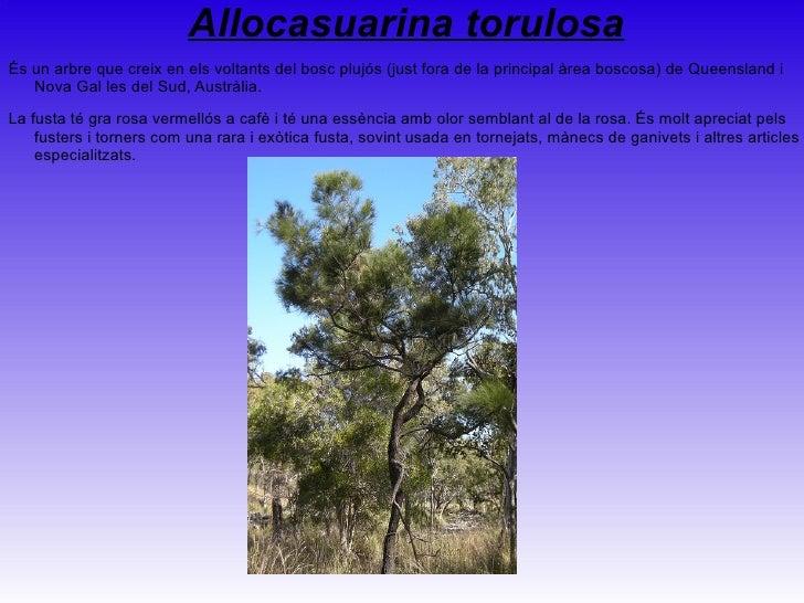 <ul>Alphitonia excelsa És d'Austràlia, sent trobada a Nova Gal les del Sud, Queensland, el Territori del Nord i la punta n...