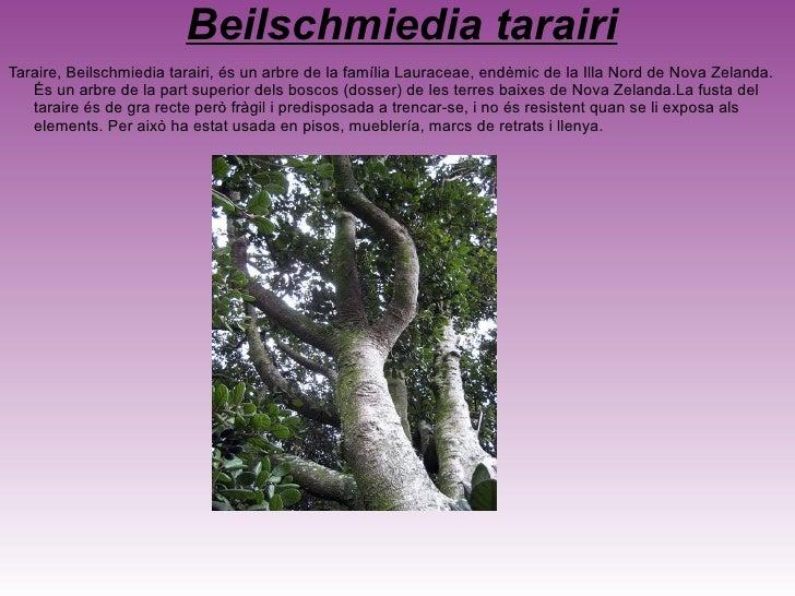 <ul>Allocasuarina torulosa És un arbre que creix en els voltants del bosc plujós (just fora de la principal àrea boscosa) ...