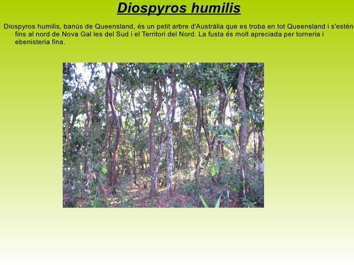 <ul>Corymbia calophylla Corymbia calophylla o el Marri és un Bloodwood (pal de sang) natiu d'Austràlia Occidental. La seva...