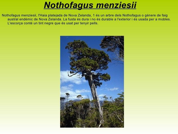 <ul>Litsea calicaris Mangeao (Litsea calicaris), és una espècie botànica d'arbustos perennifolis, endèmics de la Illa Nord...