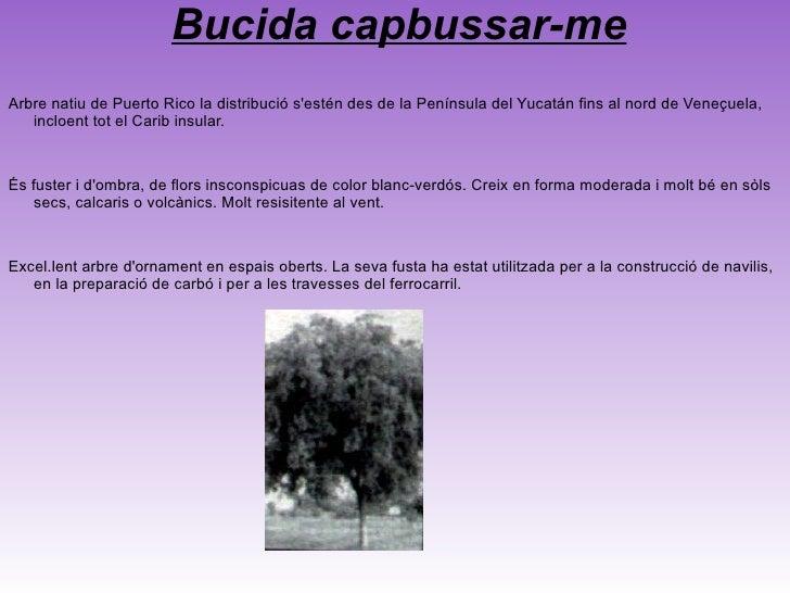 <ul>Pimenta racemosa Arbre siempreverde columnar i de grandària mitjana, que pot arribar fins a 40 peus d'alçada. Les full...