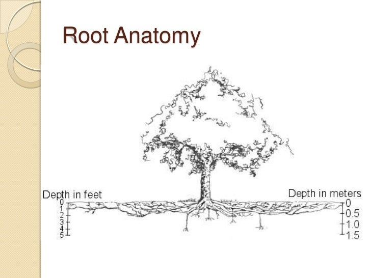 Tree Root Diagram Anatomy - Auto Electrical Wiring Diagram •