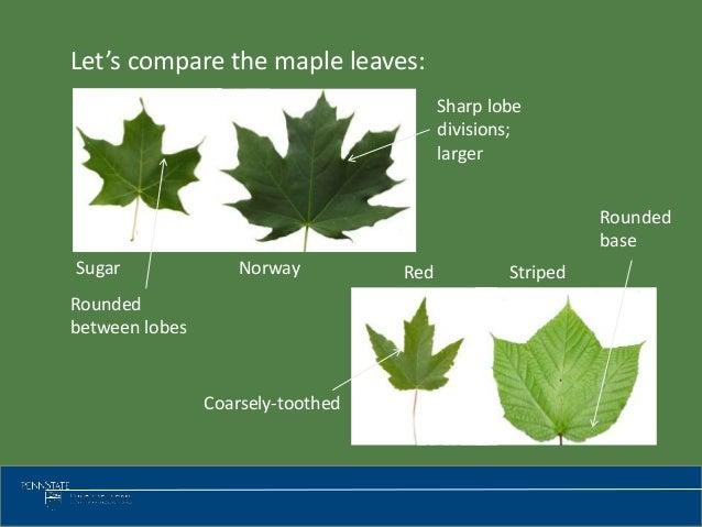 Tree Identification - Norway maple vs sugar maple